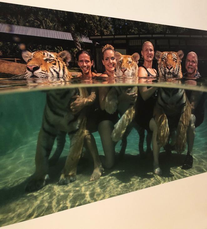 Negli Stati Uniti vivono in cattività tra le cinquemila e le diecimila tigri, alcune anche come animali domestici.